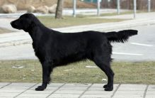 Starworkers Obsession By Nighttime - alias Stormy - flatcoated retriever fra kennet Hegnets (Hegnet)