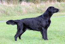 Starworkers Obsession By Nighttime - alias Stormy flatcoated retriever fra kennet Hegnets (Hegnet)