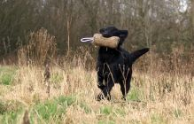 Flatcoated retriever fra Kennel Hegnets