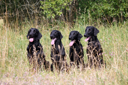 Kennel Hegnets Flatcoated Retriever